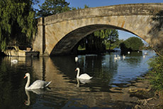 Photo of old bridge over Thames with swans all around